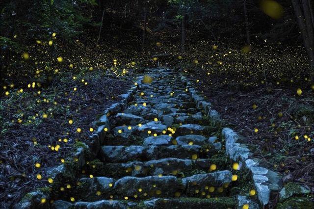 عکس برگزیدهی نشنال جئوگرافی/ حشرههای شبتاب ژاپنی