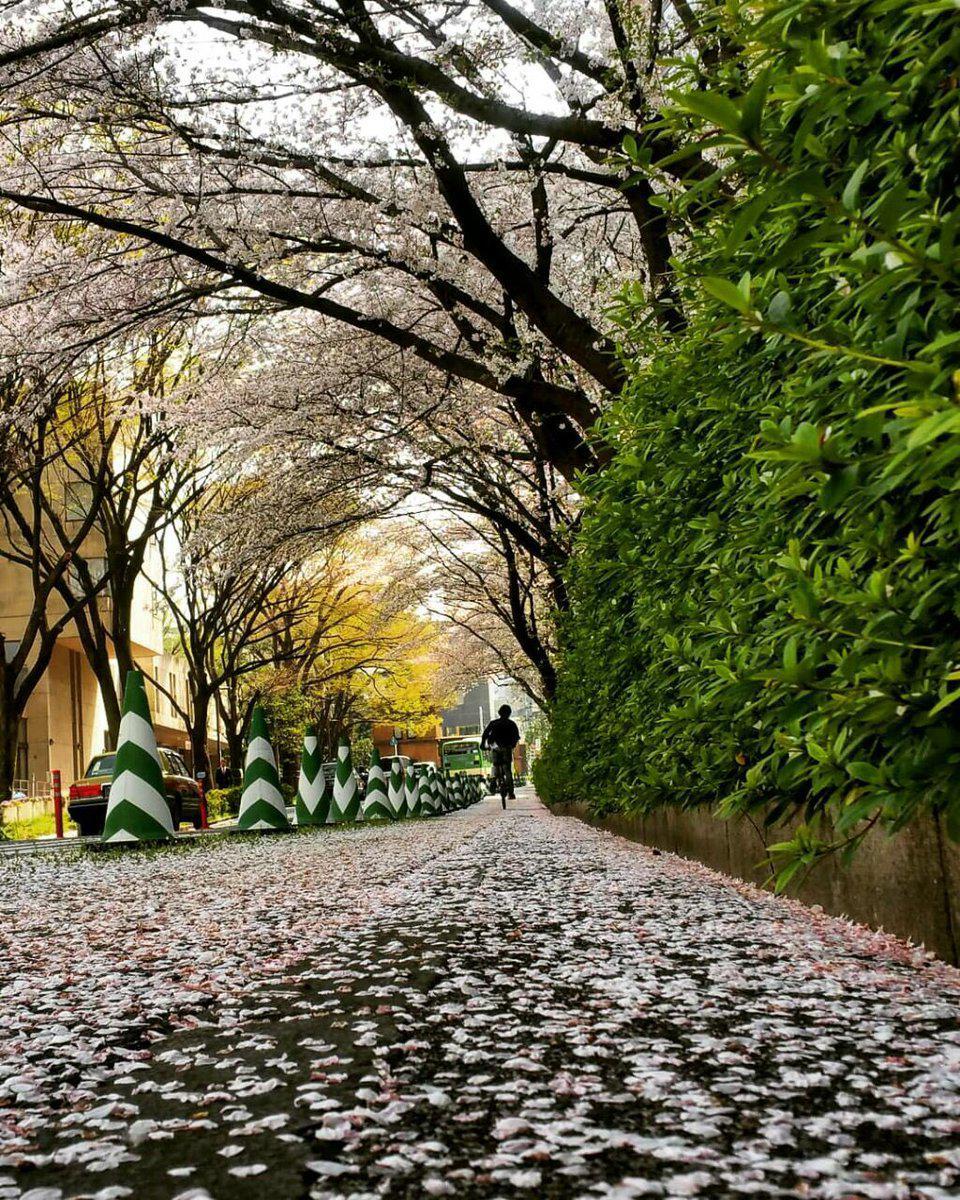 جلوه زیبای ساکورا(شکوفه گیلاس) در دانشگاه توکیو