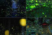 حشرههای شبتاب و زیبایی دوچندان شبها در ژاپن